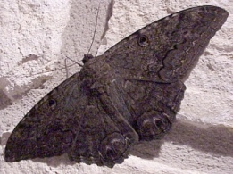 black-witch-moth