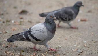 3827cc60-387c-4a83-b027-b78cbff3847d-pigeons